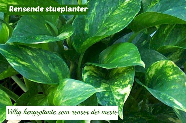 gullplante